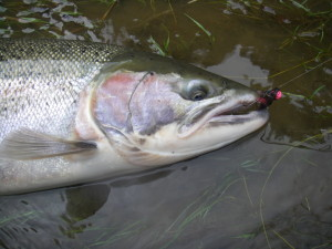 Even in the clearest of water conditions this wild buck steelhead could not resist a well presented Dinger Jig.