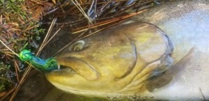Agressive bull trout love chasing down Twitching Jigs.