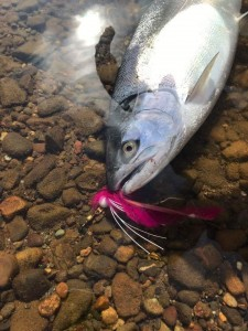 "Silver salmon fell victim to the ""Barbie"" Twitching Jig on Alaska's Nushagak River."