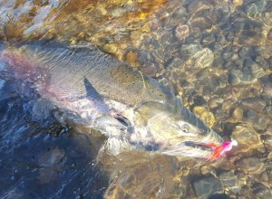 "The ""Amato"" salmon marabou jig shines in the cold water of the fall chinook season."